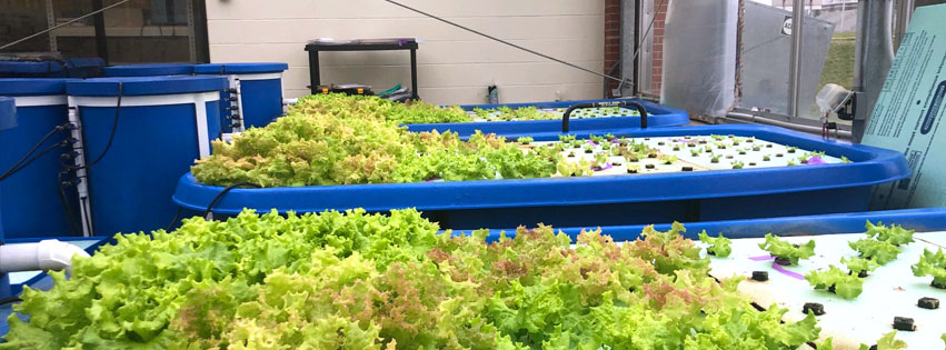 photo of the Botanical Garden, students and crops, 2020, Staggered green and red bloom lettuce growth across four floating rafts in their fifth, fourth, third and second weeks.